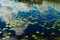 Water lilies Finnskogen 7723